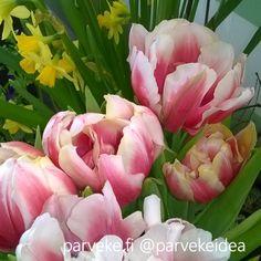 Tulppaanit auenneet #parvekkeella