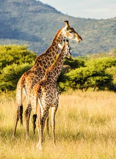 Look out (by mduckitt) Animal Species, Game Reserve, Nature Reserve, Tanzania, South Africa, Giraffe, Safari, Wildlife, African