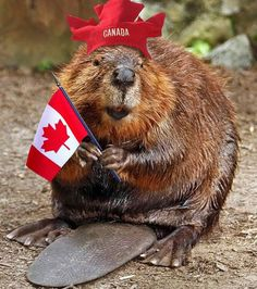 The National Animal of Canada Is the Beaver, Which Are Extremely Common Throughout the Country Canadian Things, I Am Canadian, Canadian History, Canadian Symbols, Canadian Memes, Canada Funny, Canada Eh, Canada Jokes, Canada Day Images