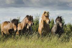 Icelandic horses by Anna Guðmundsdóttir on 500px.