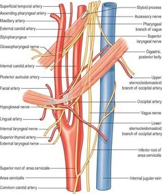 Vasculature of the head anatomy diagram - arteries of the head and ...
