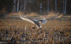 Whoopers Swan