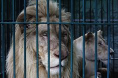 Bangkok, Thailand  June 10, 2013. Man arrested with 14 rare white lions and many other wild animals- Yahoo! News