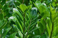 Agglegény Pálma Bonsai, Herbs, Plants, Gardening, Random, Ideas, Flowers, Lawn And Garden, Herb