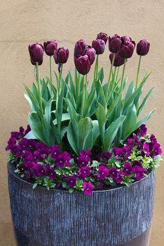 Most Beautiful Purple Flowers with Pictures - Tulips - Blumen & Pflanzen Tulips Garden, Garden Pots, Planting Flowers, Garden Ideas, Potted Flowers, Garden Guide, Terrace Garden, Purple Flowers, Spring Flowers