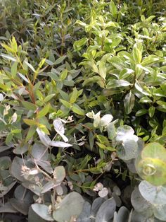 A selection of Mixed Foliages we offer by the bunch or by the Box to UK Florists