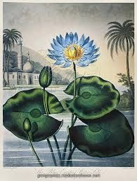 Image result for water lily botanical drawings
