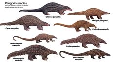 Discover the the eight different species of Pangolin, click to enlarge