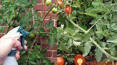 tomato-and-okurka-in-one-nemoc-at-jakéhokoli-útok od té doby-s-wear parfému Plants, Organic Gardening, Tomato, Permaculture, Poultry Farm, Organic Gardening Pest Control, Edible Garden, Garden, Garden Ornaments