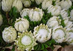 Protea King Artic Ice Arctic Ice, Plant Cuttings, Garden, Flowers, Wedding Stuff, Image, Invitation, King, Board