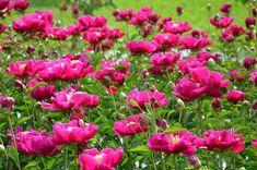 Kroniki Inowrocławskie: Różowy świat- inowrocławskie piwonie