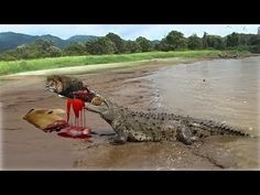 Animales Salvajes - León vs Crocodile vs Buffalo - ataques de animales s...