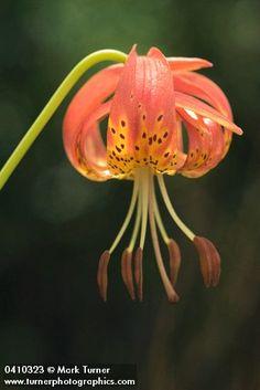 Lilium pardalinum ssp. vollmeri   leopard lily   Wildflowers of the Pacific Northwest