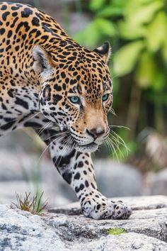 souhailbog: Last Jaguar Picture By Tambako The Jaguar Small Wild Cats, Big Cats, Cats And Kittens, Cute Cats, Jaguar Tier, Beautiful Cats, Animals Beautiful, Animal Jaguar, Jaguar Pictures