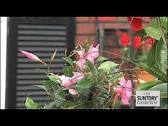 ▶ Commercial Grower Tips & Benefits: Sun Parasol Mandevillas - YouTube