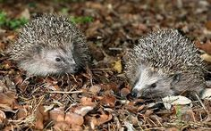 Some hedgehog ranges could be rather big, covering to x hectares or 30-40 gardens, yet the truth is that a hedgehog travels as for it has to in order to discover exactly what it needs. If the important things it requires are there, why would certainly we go somewhere else ?!
