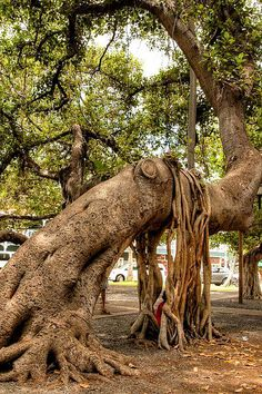 Underneath the popular Banyan Tree in downtown Lahaina. Love this tree! Wallpaper Paisajes, Weird Trees, Twisted Tree, Unique Trees, Trees Beautiful, Old Trees, Tree Roots, Tree Trunks, Tree Leaves