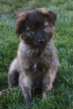 Adorable little puppy. Looks part German Shepherd maybe?