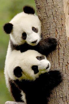 Panda Bear Gifts and Gift Ideas Featuring Pandas Niedlicher Panda, Panda Love, Cute Panda, Panda China, Cute Baby Animals, Animals And Pets, Funny Animals, Wild Animals, Beautiful Creatures