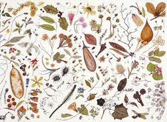 herbarium specimen painting (part 7 of 7) | rachel pedder-smith