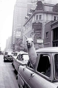 'A Llama in Times Square', photographed by Inge Morath, 1957.