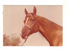 Schoene-alte-Pferdepostkarte-l-Brauner-Araber-Sehr-guter-Zustand