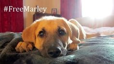 Please remove the Dangerous Dog designation for Marley.    Marley mauled nobody. The 15-year-old boy Taylor only needed Band-Aids to treat the bite wounds. Marley's punishment exceeds his actions.   Out of nearly 1,000 dog bit incidents over the past three years, only 14 dogs have been declared dangerous....