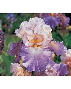 Reblooming Iris Mother Earth