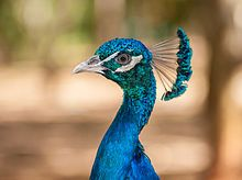 Indian Peafowl - Wikipedia, the free encyclopedia