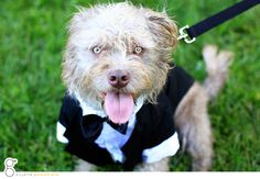 Doggie in a tuxedo for the wedding Dog Wedding, Wedding Ideas, Tuxedo, Teddy Bear, Weddings, Dogs, Animals, Animales, Animaux