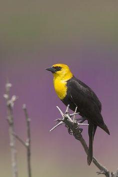yellow headed blackbird | Yellow-Headed Blackbird | beautiful things