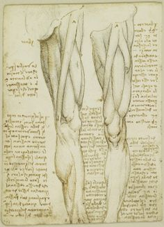 Recto: The muscles and nerves of the leg. Verso: The muscles of the leg