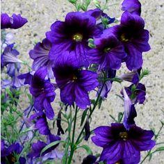 Rare+Painted+Tongue+Purple-Black+Salpiglossis+sinuata+-+30+Seeds