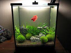Nice planted betta tank. From Aquarium Poetry Blog.