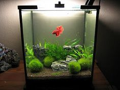 Nice planted betta tank. From Aquarium Poetry Blog.