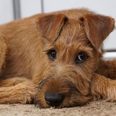 Loyal Dog Breeds, Big Dog Breeds, Loyal Dogs, Pet Dogs, Dogs And Puppies, Dog Cat, Doggies, Airedale Terrier, Welsh Terrier