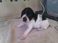 english pointer dog photo | ... posted 2 months ago for sale dogs pointer english pointer puppies last