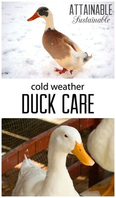 In harsh, cold climates there are some simple tactics for keeping things hospitable in the duck coop. Winter care of ducks isn't hard, but it does change a bit during the cold season! Backyard Ducks, Backyard Farming, Chickens Backyard, Fun Backyard, Backyard Birds, Raising Ducks, Raising Chickens, How To Raise Ducks, Raising Farm Animals