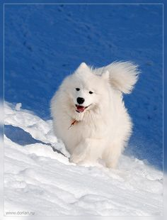 "The Samoyed - With their endearing ""Sammy smile,"" physical elegance, sparkling white coat, medium size, and enthusiastic, eager-to-please personalities, the Samoyed can easily be mistaken for simply an ""outwardly beautiful"" dog.  But that assumption passes over the ruggedness, intelligence, challenge and God-given gifts these dogs present to their owners today."