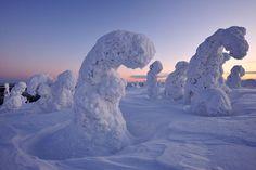 Frozen trolls - Crown snow-load trees in the NP Riisintunturi in Finland