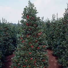 Oak Leaf Holly Trees are drought tolerant evergreens with glossy leaves and vibrant red berries. They're beautiful as foundation trees and as privacy hedges. Garden Shrubs, Garden Trees, Evergreen Trees, Trees And Shrubs, Evergreen Garden, Holly Shrub, Privacy Trees, Privacy Plants, Fence Plants
