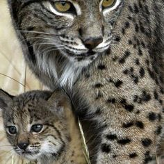 We wish that everyone stop hunting these Iberian Lynx as they are listed as criticality endangered www.zoovue.com #wildlife #conservation #zoo #lynx http://ift.tt/2bJ3TbR - http://ift.tt/1HQJd81