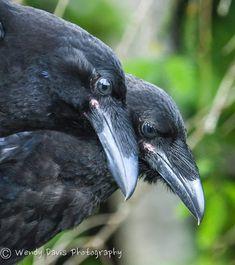 Murder of Crows Quoth The Raven, Raven Bird, Beautiful Birds, Animals Beautiful, Cute Animals, Black Animals, Crow Images, Raven Queen, Crow Art