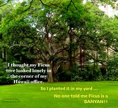 Ficus Grows BIG in Hawaii! http://everybodyslost.com