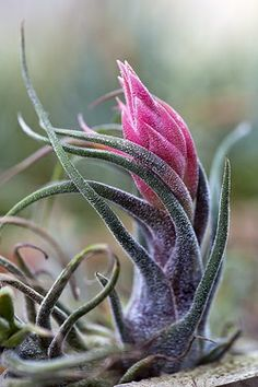. airplant, air plant, flower, blossom