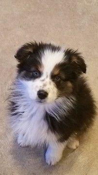 Australian Shepherd Puppy For Sale In Herriman Ut Adn 61558 On