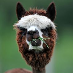Alpacas do not pull grass by the roots, they use community dung piles and drink about a gallon of water per day. Alpacas have been leaving a small carbon footprint on Earth for thousands of years.