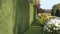Živý plot: Pravidelným strihaním dosiahnete kompaktnú zelenú stenu