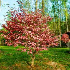 Pink Dogwood Botanical Name:Cornus florida 'Rubra' Mature Height:15-25 ft. Mature Width:15-25 ft. Sunlight:Partial Sun Spacing:10 ft. Growth Rate:Moderate Drought Tolerance:Good