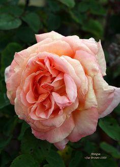 Rosa Antigua (HT)(VF)